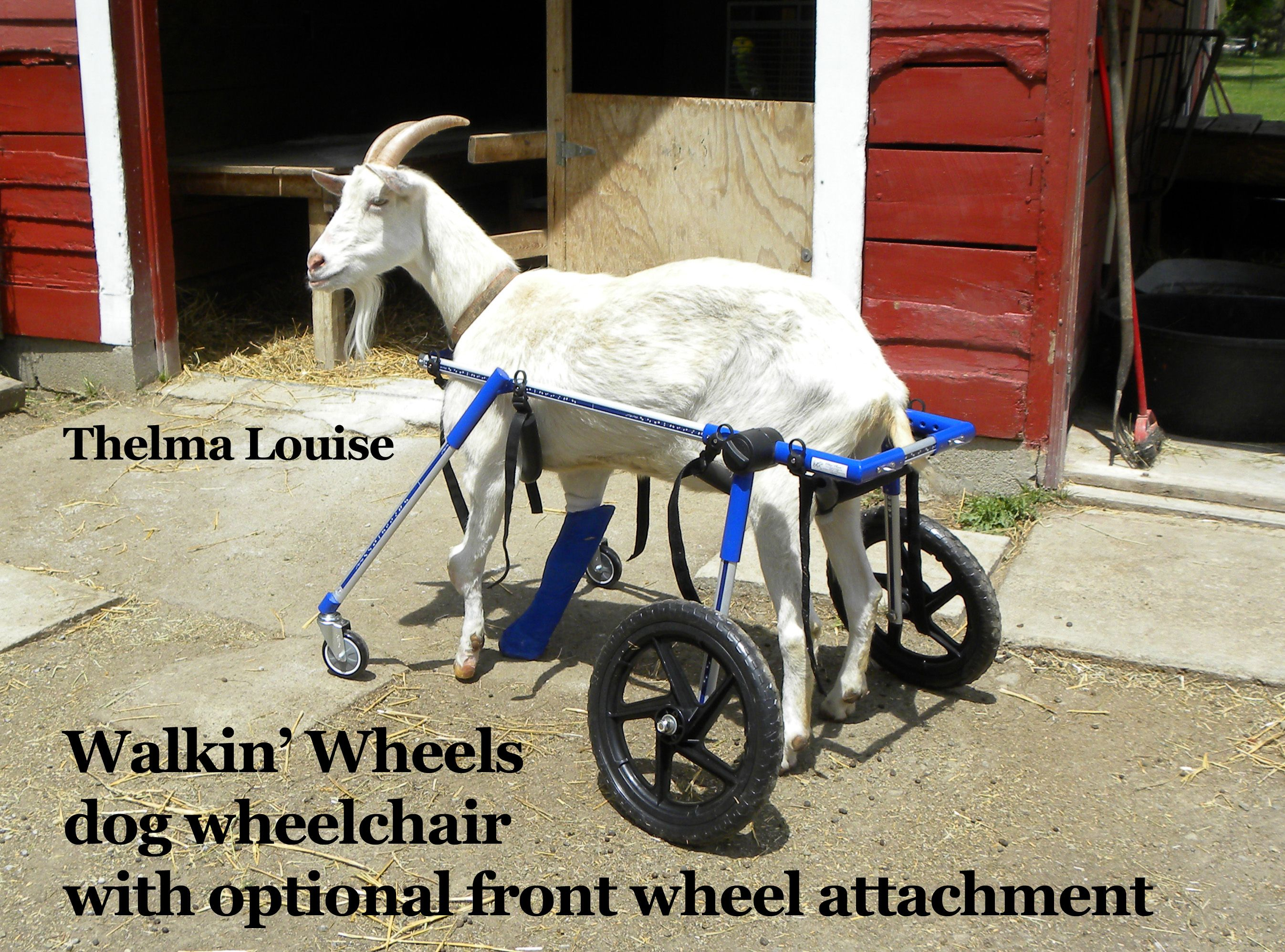 """Thelma Louise is a goat with brittle bone disease and she has been walking """