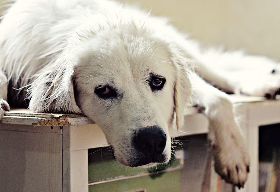 turkish akbash dog akbaa a oban kopea i puppy