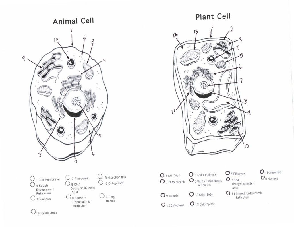 Blank Plant Cell Diagram Worksheet Fresh Plant And Animal