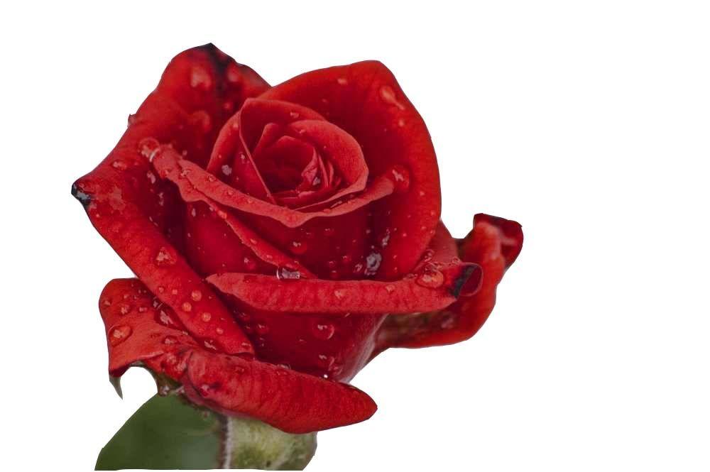 Rosa Sin Fondo Rosas Pintadas Rosas Calas
