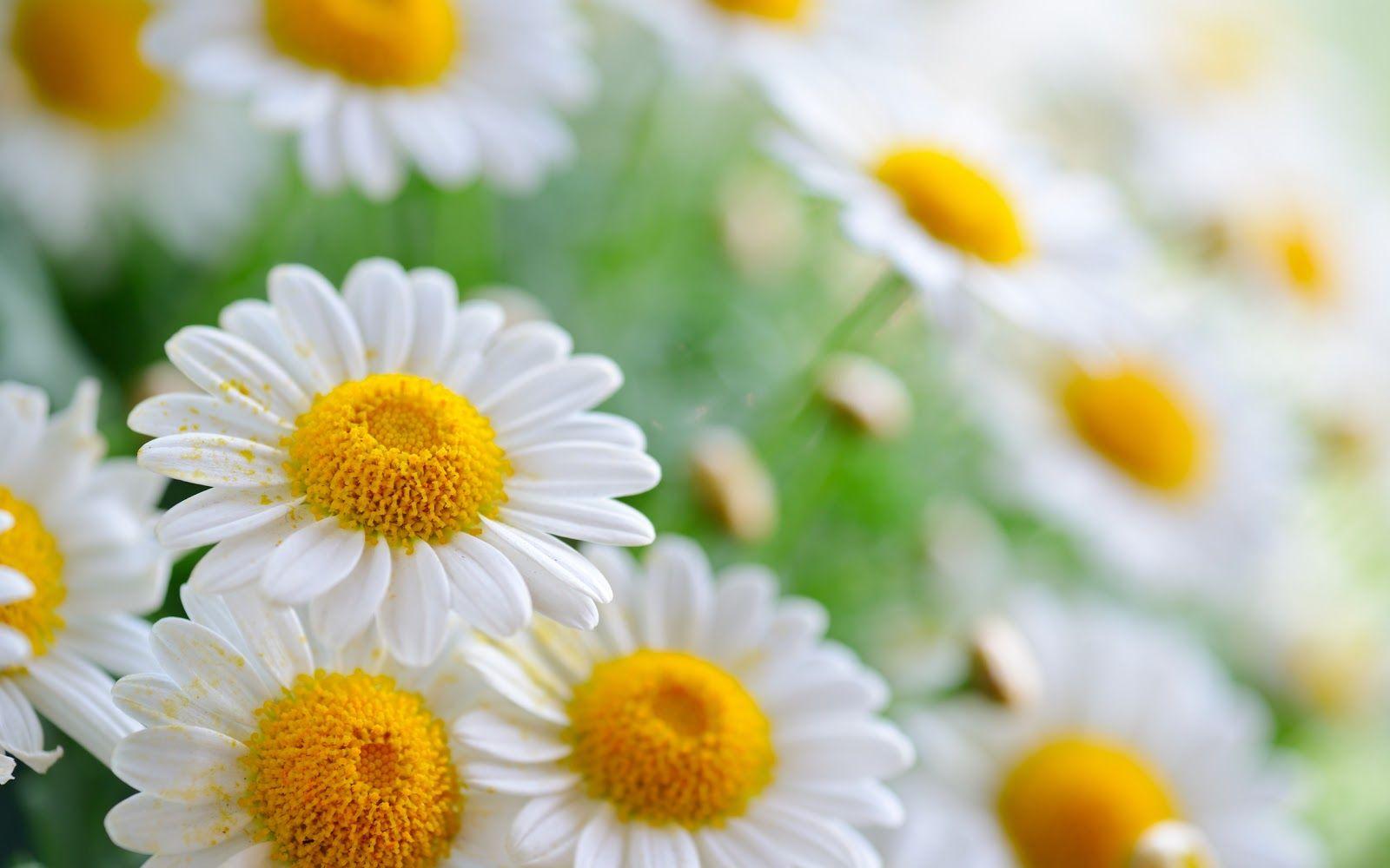 20 خلفية زهور رائعة عالية الدقة مجانا مداد الجليد Flower Wallpaper Amazing Flowers Daisy Wallpaper