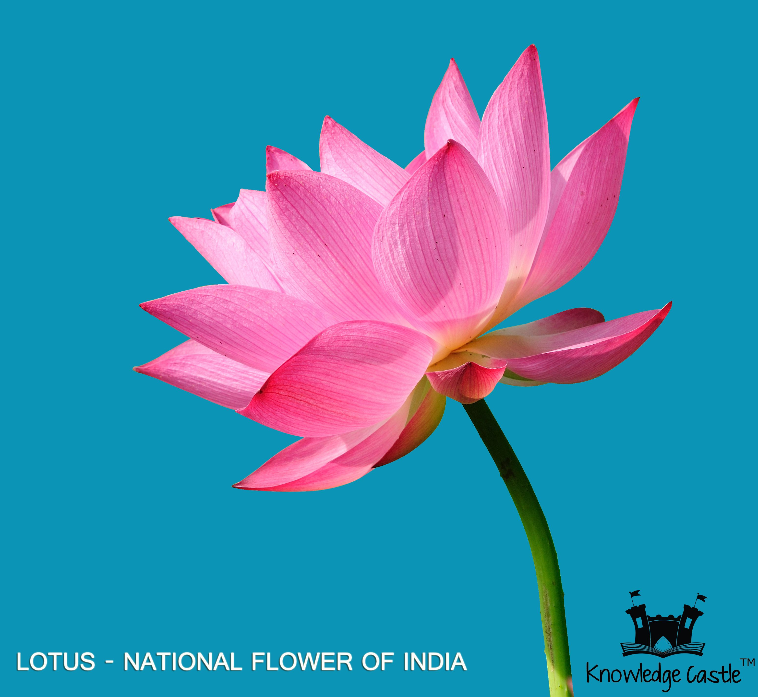 national flower of india Lotus, a type of water lily, holds a special place in india and thus, has been chosen as the national flower of india know more national flower of india - lotus.