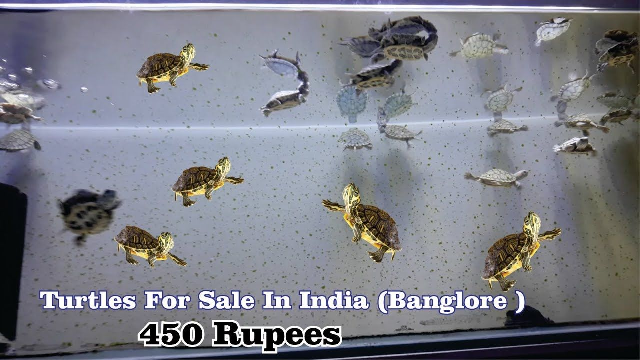 Turtles For Sale 450 Rupees Aquarium Turtles For Sale In India Turtl Turtles For Sale Pet Turtle Turtle