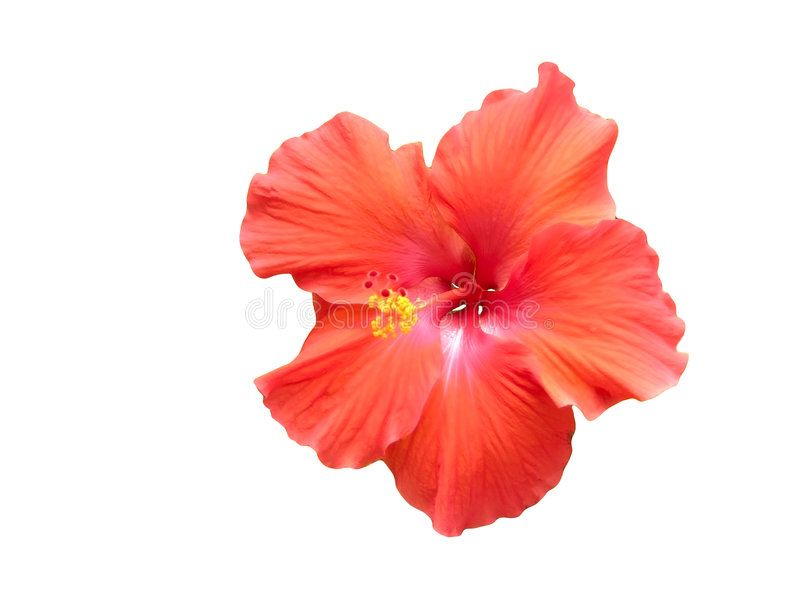 Red Hibiscus Against White Red Tropical Hibiscus Flower Against A White Backgro Ad White Hibiscus Red B Hibiscus White Stock Image Hibiscus Flowers