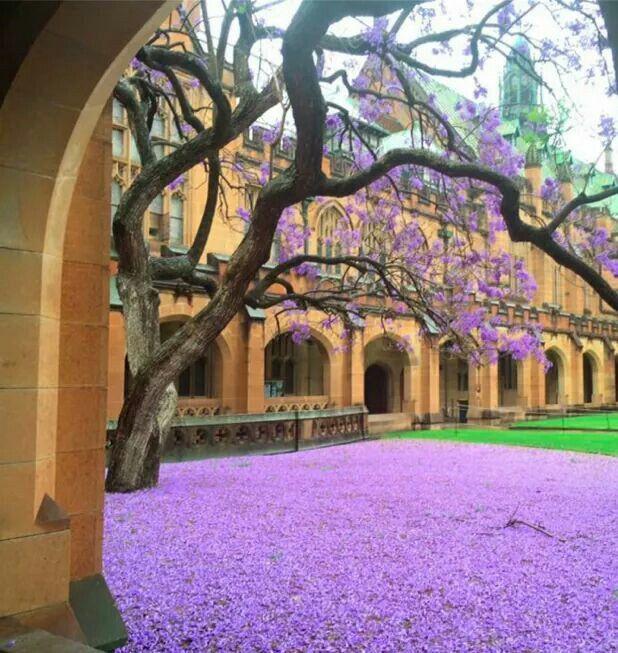 University Of Sydney Jacaranda Tree University Of Sydney