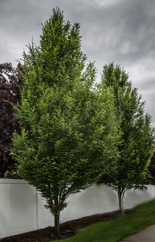 Palisade American Hornbeam Carpinus Caroliniana Ccsqu 30 X15