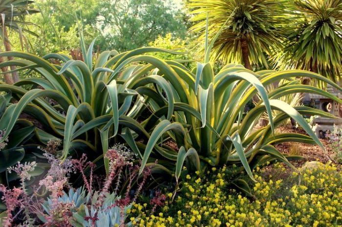 plante exotique agave