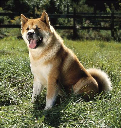 Pin By Kayla Martin On Akitas Akita Puppies Dogs Of The World Japanese Akita