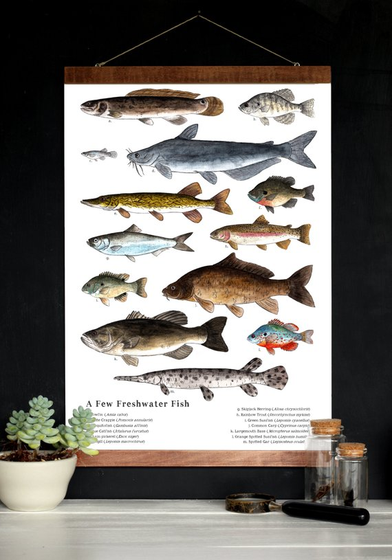 nature art poster a few freshwater fish 12 x 18 poster schoolroom art science natural history nature study is part of Freshwater fish - Nature Art Poster  A Few Freshwater Fish  12 x 18 Poster  Schoolroom Art, Science, Natural History, Nature Study Natureart Poster