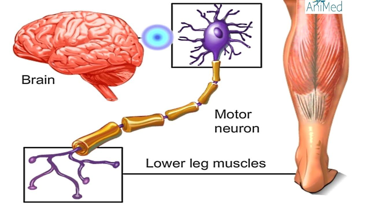 How Nervous System Works Animation - Nerve Conduction Physiology ...