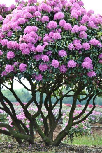 Van Den Berk Nurseries Large Sizes Garden Trees Ornamental Trees Flowering Trees