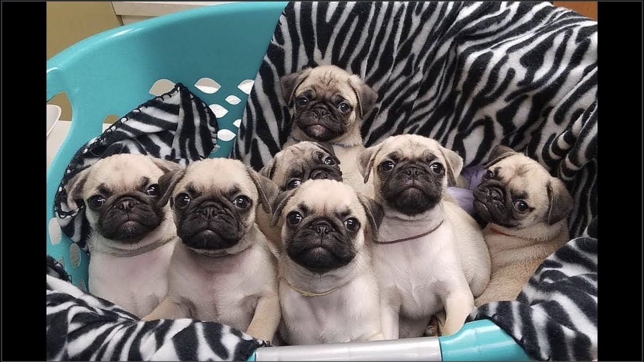 Cute And Funny Pug Dog Video Compilation 30 Pugs Funny Cute Pugs