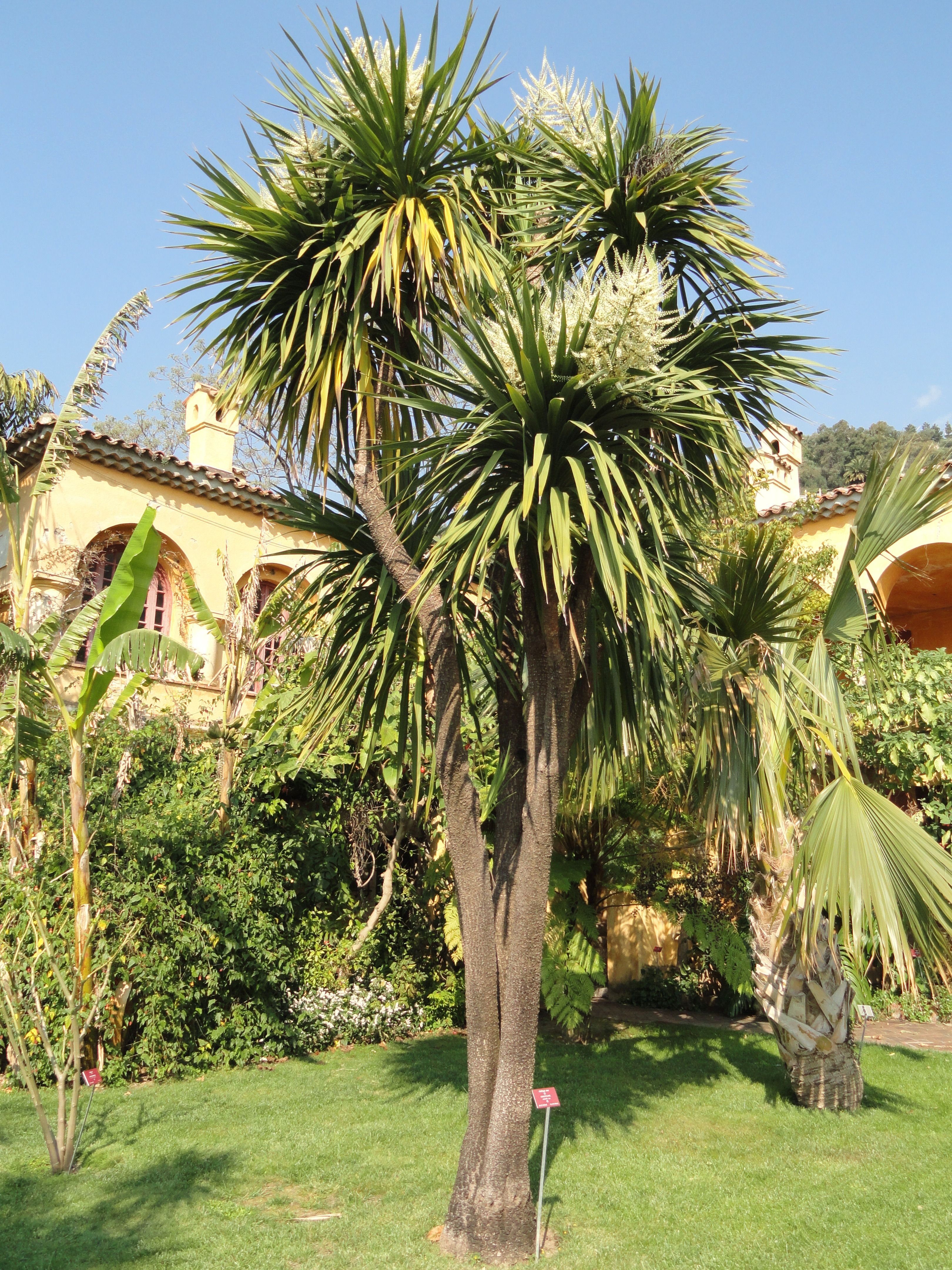Cordyline australis – (Cabbage Tree)   Exotic plants and ...
