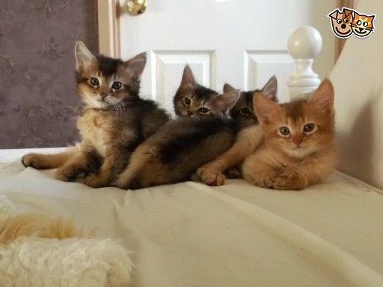 Somali Kittens For Sale Abyssinian Cats Abyssinian Kittens Kittens