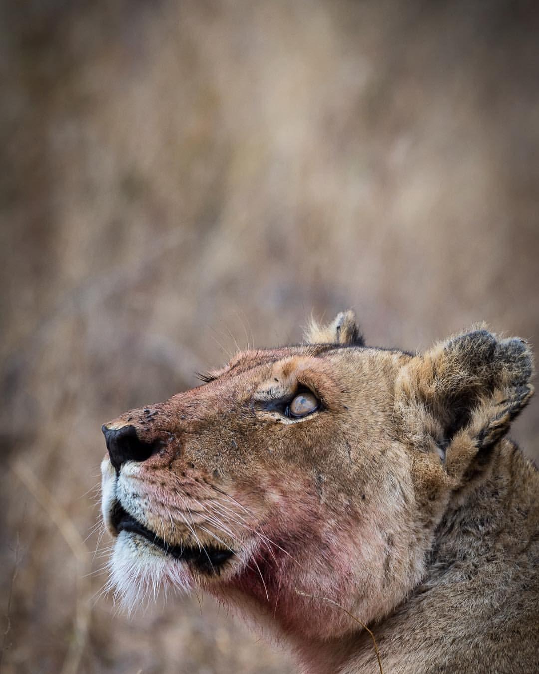 Apex Predator || Lioness in South Africa  Em Gatland