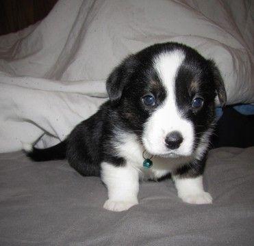 Litter Of 9 Welsh Cardigan Corgi Puppies For Sale In Milwaukee Wi Adn 53665 On Puppyfinder Com Gender Male Ag Corgi Puppies For Sale Puppies For Sale Corgi