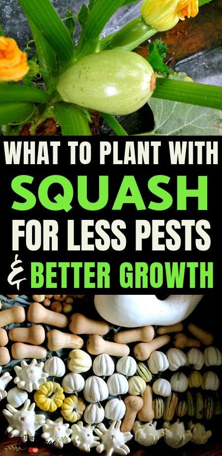 Organic Vegetable Gardening companion planting can help keep your organic garden growing better Learn what to plant with your squash and what to keep away