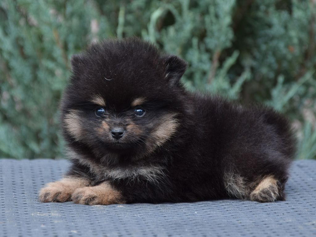 Pomeranian Pomeranian Puppy Puppies Pomeranian Dog