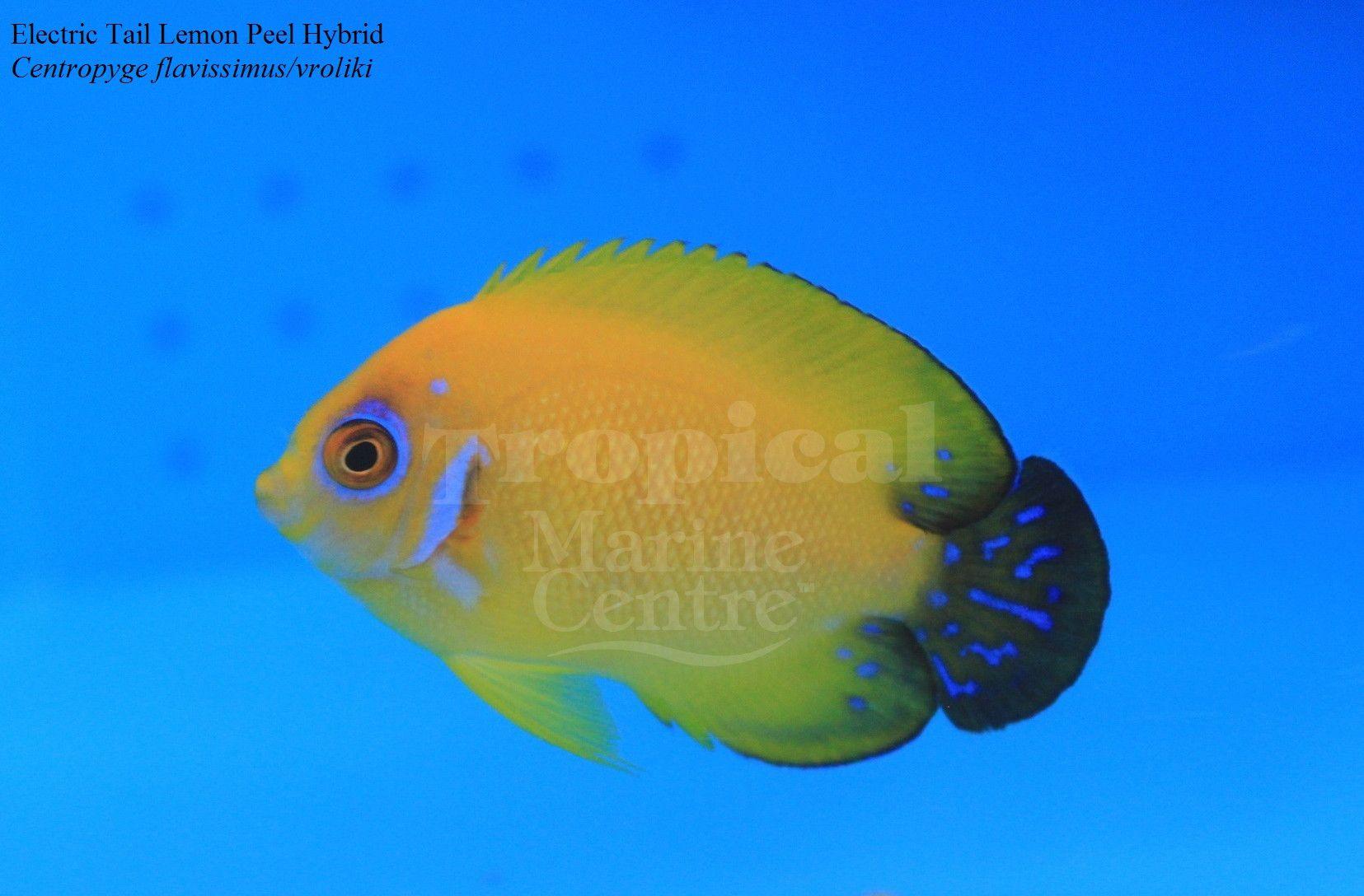 Electric Tail Lemon Peel Angelfish Hybrid C Flavissima And C Vroliki A Electric Tail Lemon Peel Angelfish Marine Fish Saltwater Aquarium Aquarium Fish