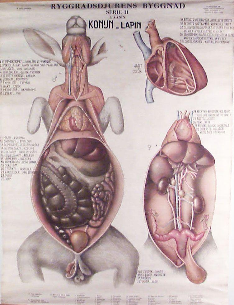 Gustav Wennman #anatomy #rabbit   A N A T O M Y   Pinterest ...