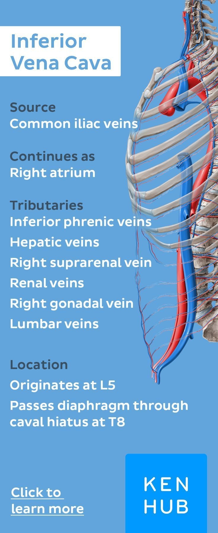 Inferior Vena Cava | PTA | Pinterest | Anatomy, Medical and Med school