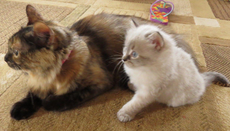New England Siberian Breeder Of Low Allergen Siberian Kittens In Nh Cat Allergies Siberian Cat Siberian Kittens For Sale