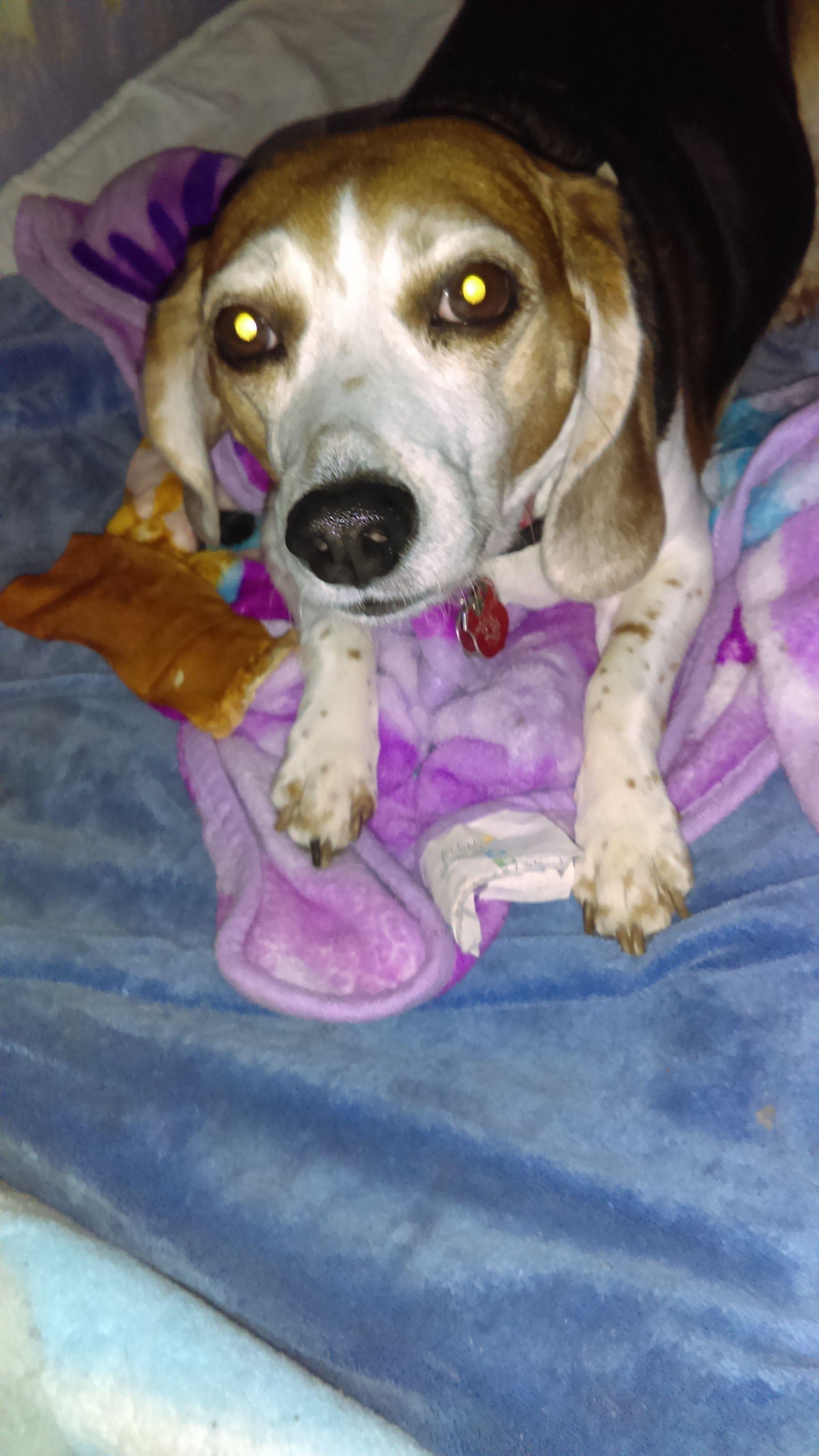 Beagle dog for Adoption in Tampa, FL. ADN772526 on