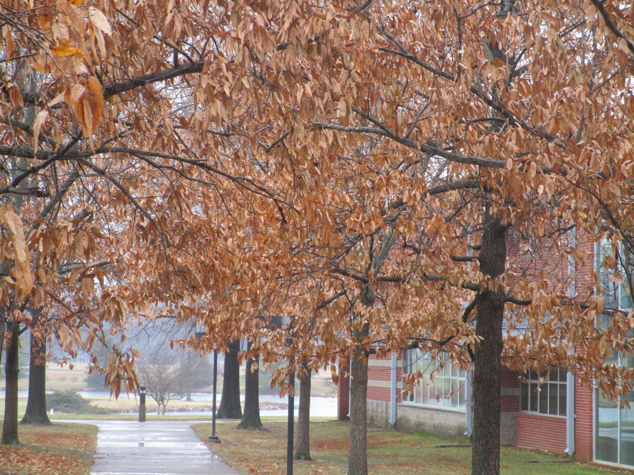Although January is the midst of winter, it does not technically mean all the fall foliage is gone.  This remarkable example of January autumn foliage is located in Owensboro Community and Technical College, the oasis of fall color for December and January.  January 12, 2015