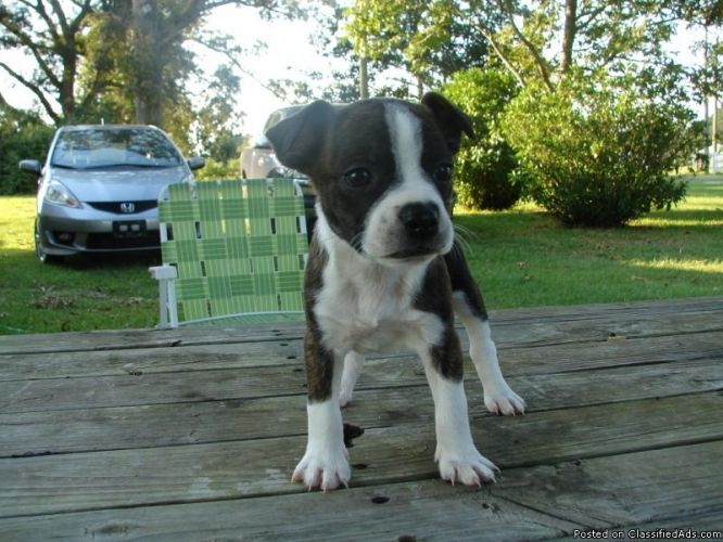 Rat Terrier Mix Puppies Brat Puppies Boston Terrier And Rat