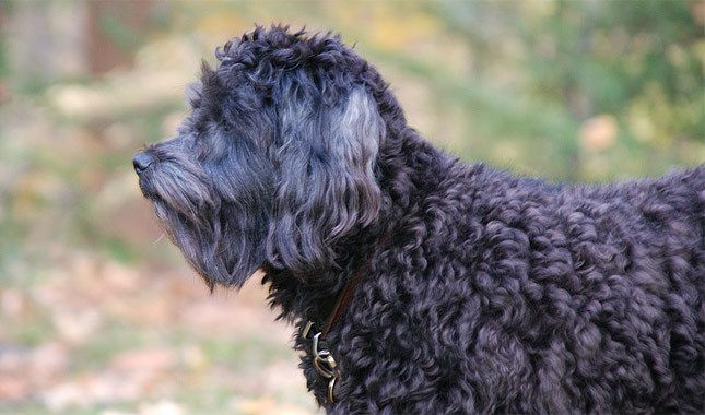 10 Things You Didn't Know About the Schnoodle is part of Things You Didnt Know About The Schnoodle - When it comes to designer dogs, you don't get much cuter than the Schnoodle  While you likely know this is a mix between the Schnauzer and Poodle, you may
