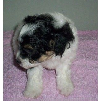 Shih Tzu X Mini Poodle Puppies For Sale In Charmhaven New South
