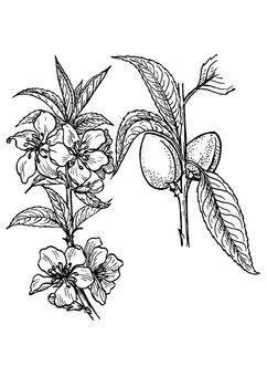 Coloring Page Almond Tree