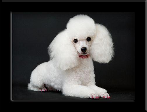 Poodle Dog Breed Information White Toy Poodle Poodle Tea Cup