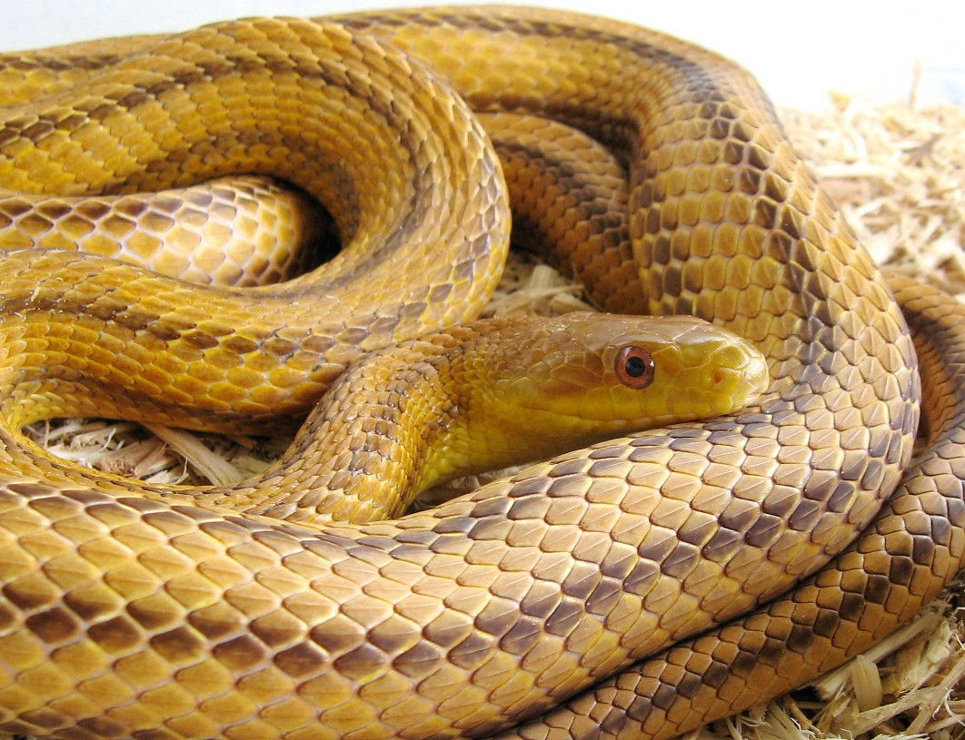 Image result for rat snake yellow
