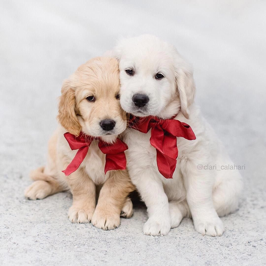 Adorable little golden retriever puppy