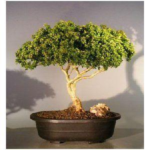 Bonsai Boy's Japanese Kingsville Boxwood Bonsai Tree buxus microphylla compacta$395.00: www.amazon.com/Bonsai-Japanese-Kingsville-microphylla-compacta/dp/B007QBKVK0/?tag=sure9600pneun-20