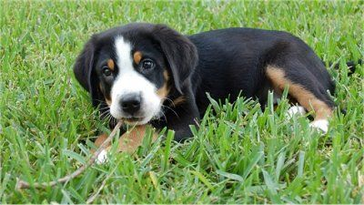 Greater Swiss Mountain Dog Google Search Mountain Dog Breeds Greater Swiss Mountain Dog Swiss Mountain Dogs
