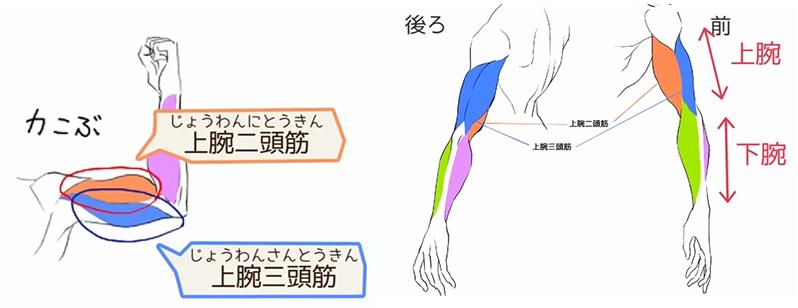 スジだけ描いても細マッチョにはならない 上半身の筋肉の描き方講座