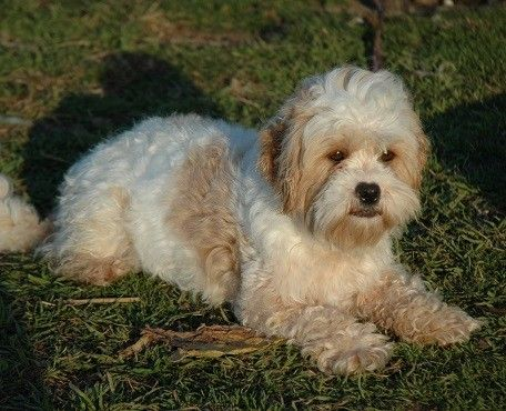 Maltese X Poodle Full Grown Google Search Maltese Breed Shih