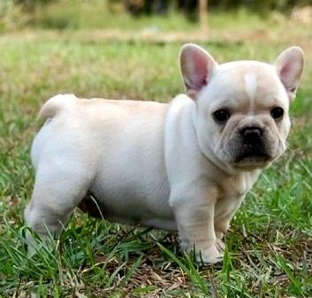 French Bulldog Puppy Max Needs A Sibling Want Frenchies