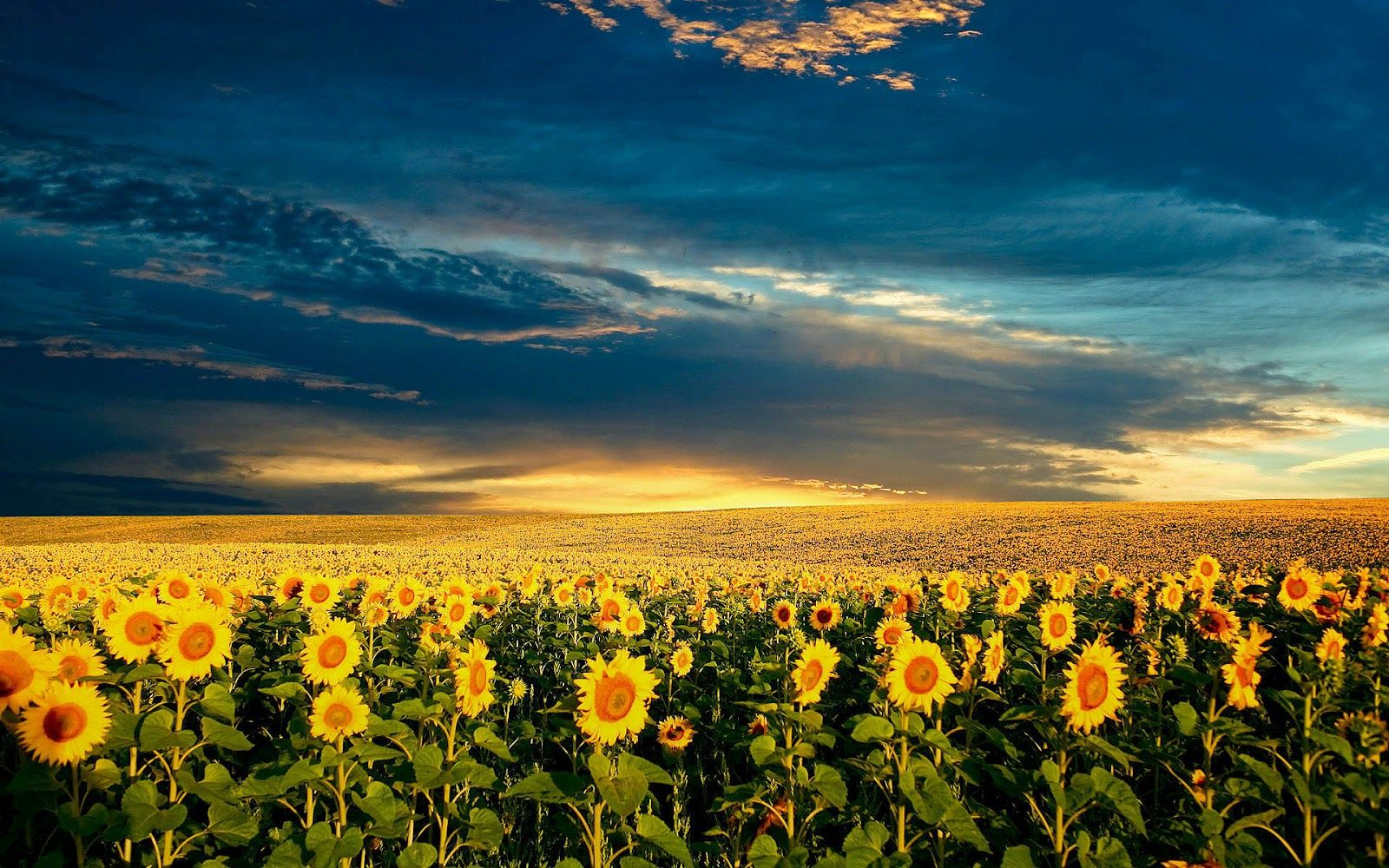 Sunflower Wallpapers Best Wallpapers Натуральный
