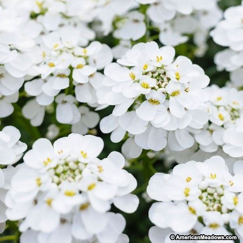 Candy Tuft Alexanders White Iberis sempervirens Candy Tuft Regions of your yard that face Western world or South by natural means are usually many hotter and obtain much...