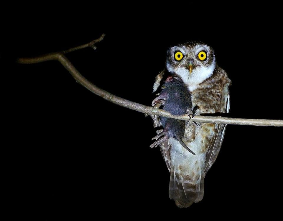 Spotted Owlet (Athene brama) with prey at Sundarban Tiger Reserve, India.