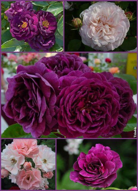 Za murami mojego ogrodu . Midnight Blue, Gruss Aachen, Purple Eden,  Adolphe Turecki Minerva