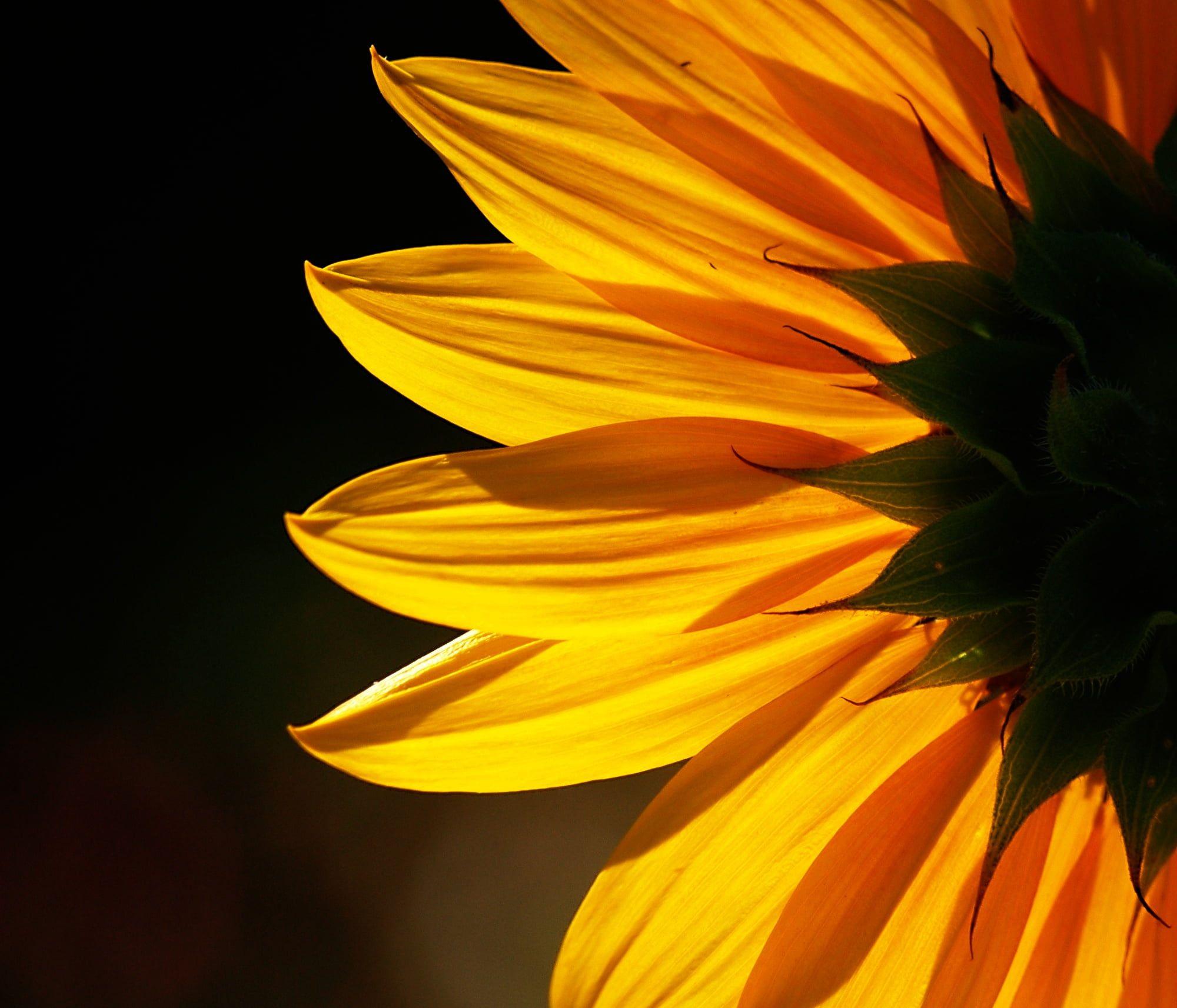 Yellow Sunflower Flower Close Up Photo Sunflower Backlit