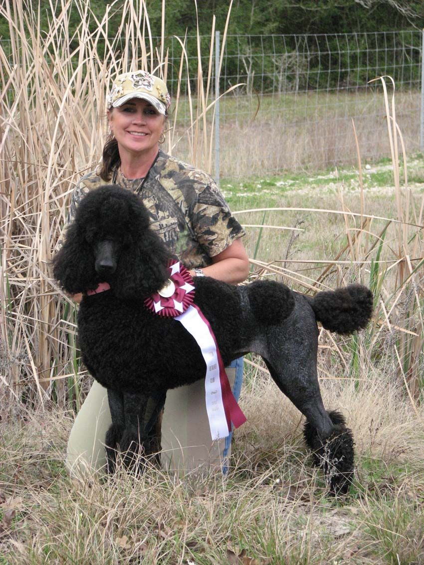 Stunning Hunting Black Standard Poodle These Dogs Are Classy Yet