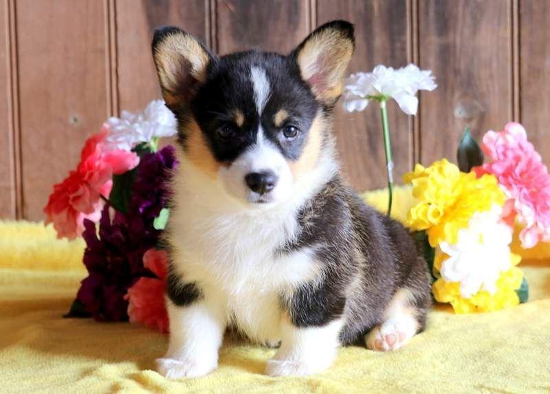 Josie Keystone Puppies Puppies For Sale Health Guaranteed