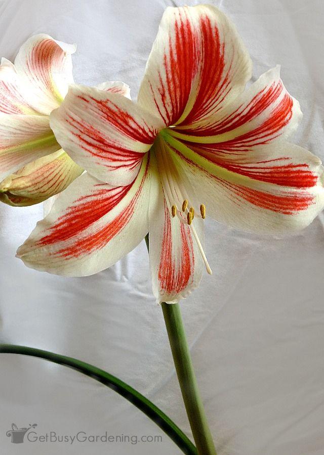 How To Rebloom Your Amaryllis Plants Amaryllis Plant Plants Amaryllis Bulbs
