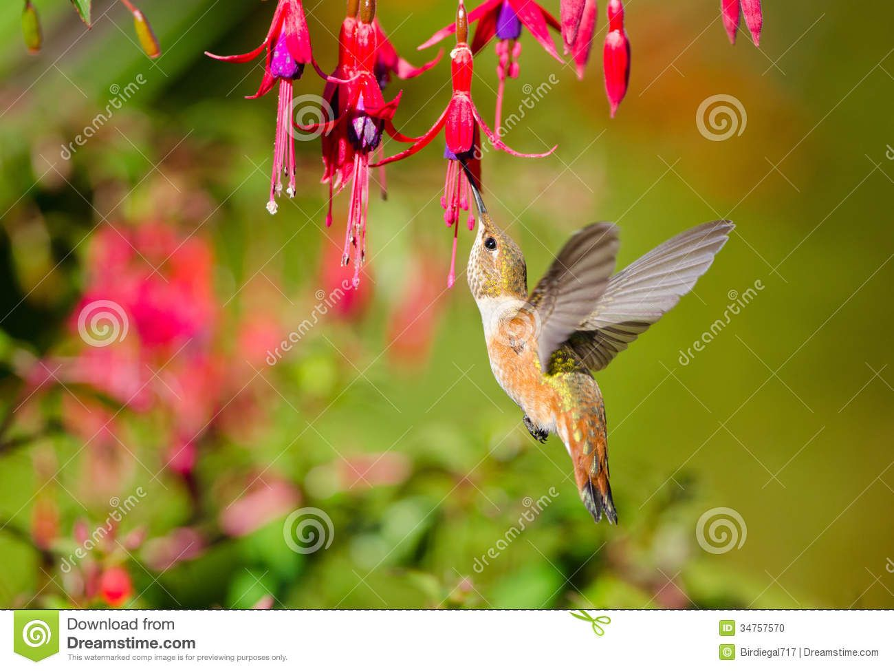 Rufous Hummingbird Feeding On Hardy Fuchsia Flower Stock Photo Fuchsia Flowers How To Attract Hummingbirds Hummingbird Garden