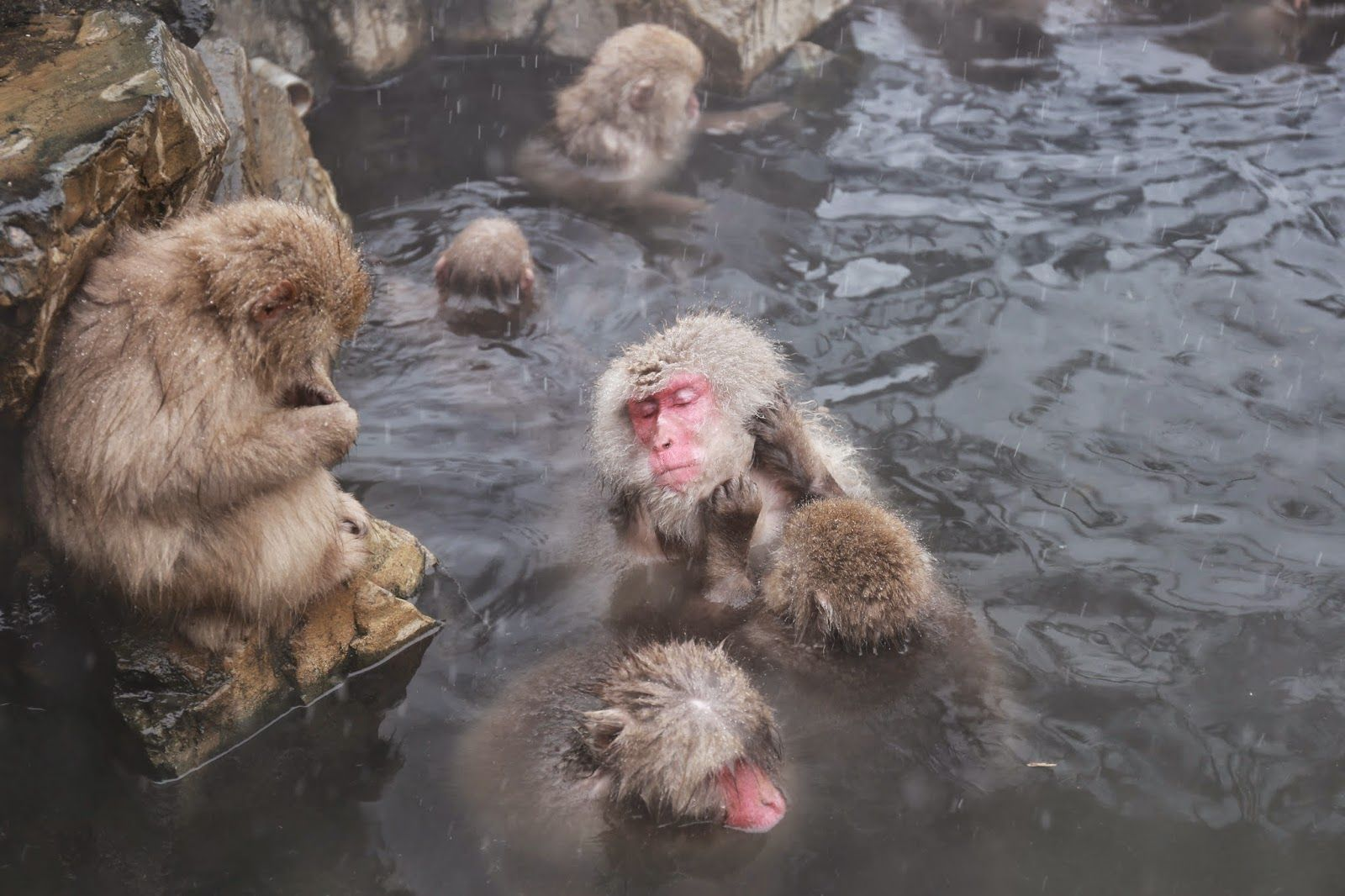 Snow Monkey, one of most famous Japan's winter attractions